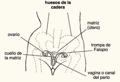 Los órganos reproductores de la mujer se encuentran en la pelvis.