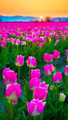 Skagit Valley during the annual Tulip Festival in Mount Vernon, Washington • Inge Johnsson Photography on Photoshelter
