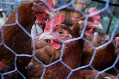 Poultry Predators – How to Keep Your Chickens Safe