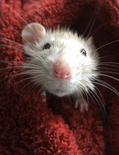 Rats, the most underrated pets.