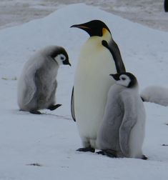 How cute are these two little Emperor penguins? When they grow up, they will look like the penguin in the middle: mostly black and white, with yellow trim around the neck.