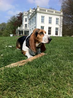 Basset Artésien Normand (Norman Artesian Basset & Basset Artesien Normand) #Dogs #Puppy Basset Hound Mix, Bassett Hound, Hound Dog, Basset Artesien Normand, Bloodhound, Baby Shirts, Beagles, Dog Shirt, All Dogs