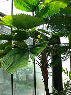 Ruffled fan palm licuala grandis is a very attractive for The home mag houston