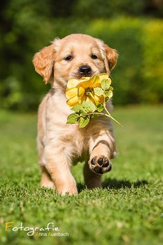 Puppy with rose by Anna Auerbach on 500px