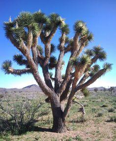 JOSHUA TREE (Yucca brevifolia) Esencia floral de Sierra de Luz. Liberación de los condicionamientos e influencias culturales y familiares. Visión compasiva de la familia y cultura de origen.