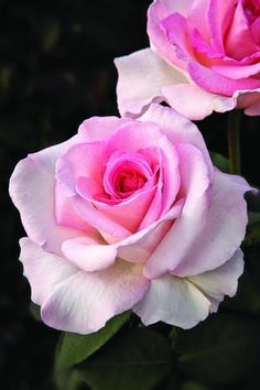...  'Pink Promise' Rose - National Breast Cancer Foundation!  aka Jane McGrath rose