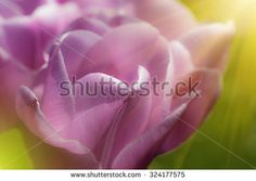 Closeup of purple tulip with glowing sun rays - beautiful nature