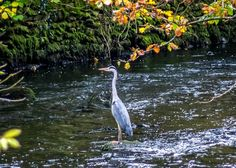 RT @andrewswalks: Heron fishing in the River Rothay seen on today's walk round Rydal Water @wildlife_uk