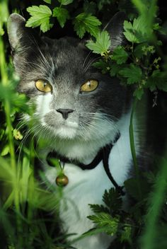In the Jungle .... Grey & White Cat with Golden Eyes & Bell on his Collar ....