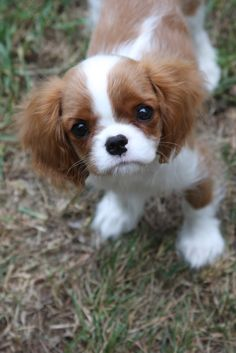 Cavalier King Charles Spaniel – Graceful and Affectionate King Charles Puppy, Cavalier King Charles Dog, King Charles Spaniel, Cute Puppies, Cute Dogs, Cavalier King Spaniel, Spaniel Puppies, Cute Little Animals, Doggies