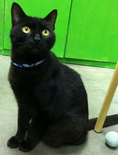 alley cat allies.  Shadoebear is a 5-year old DSH male with glossy black fur and golden eyes.  He is a very dignified, mature gentleman with impeccable manners and excellent posture!  His bearing is very regal, and he loves to sit up high and survey his...