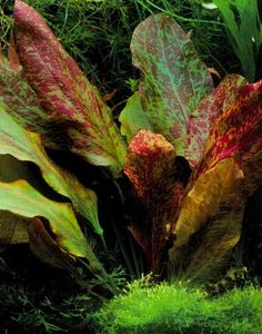 Echinodorus «Red Flame» ~ There is also a green flame, that has a lot of red splotches on it.  Both very pretty.