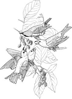 White Winged Crossbill Coloring Page From Category Select 24342 Printable Crafts Of Cartoons