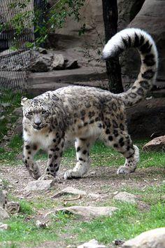 Uncia uncia - A tail and a cat - 雪豹 - 維基百科,自由的百科全書