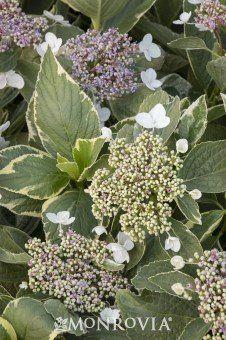 hydrangea variegata