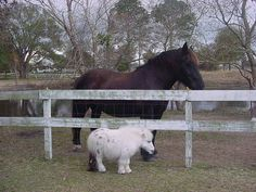 Dwarfism in Miniature Horses | Here's a good comparison. So adorable!!