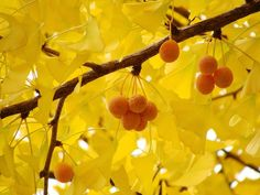 """Ginkgo biloba - Maidenhair Tree: """"turns a beautiful bright yellow and their leaves will fall all at once. If you time it right, you can stand below a yellow ginkgo on a windless day and the leaves will drop around you like snow. In China, Ginko Tree, Japanese Plants, Japanese Nature, Japanese Beauty, Maidenhair Tree, Insect Species, Chinese Garden, Elements Of Style"""