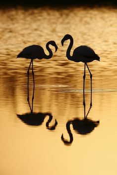 Duo of greater flamingo at sunset by Jonathan Lhoir