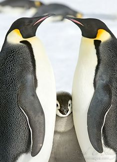 cute penguin family |  via: 500px.com