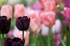 dark purple tulips
