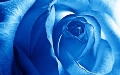 Flowers Nice Blue Rose Wide Pc Wallpaper Nice Hd Wallpaper - http://imagesearch.co/599511/flowers-nice-blue-rose-wide-pc-wallpaper-nice-hd-wallpaper.html