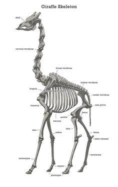 Anatomy Studies - Giraffe Skeleton by Whippoorwhill on DeviantArt Anatomy Study, Anatomy Drawing, Anatomy Reference, Animal Sketches, Animal Drawings, Giraffes Cant Dance, Skeleton Anatomy, Skeleton Drawings, Vet Assistant