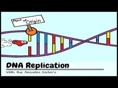 ▶ DNA Replication: The Cell's Extreme Team Sport - YouTube. Ever wonder how all the new cells in your body get a copy of your DNA? DNA replication is a very intricate and fascinating process you don't want to miss. In this video, we'll give a brief overview of DNA replication for eukaryote cells and introduce 4 key players: ligase, DNA polymerase, primase, and helicase. We'll also talk about why DNA can either run 5' to 3' or 3' to 5' by exploring the structure of DNA.