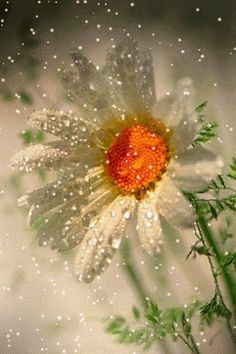 The flower of kind behavior, a Daisy. Their fate is to shine and bloom in kindness. She's the joy of sorrow. You will always find a daisy at thy feet. My Flower, Flower Power, Beautiful Flowers, Daisy Flowers, Sunflowers, Snow Flower, Birth Flower, Gif Rose, Beautiful Love