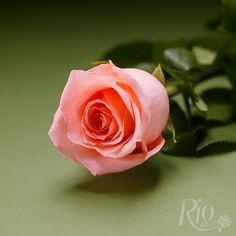 Rio Roses - Engagement