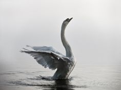 A Mute Swan, Cygnus Olor, Stretching its Wings in the Morning Mist Photographic Print by Alex Saberi at AllPosters.com