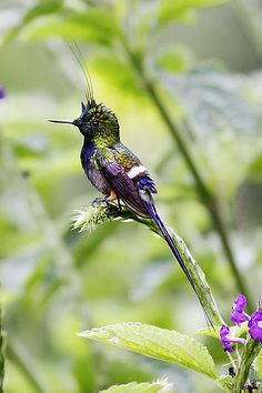 Wire-crested thorntail (Discosura popelairii) The wire-crested thorntail is a hummingbird which occurs in Colombia, Ecuador and Peru. This species is one of the smallest birds on Earth, with a mature...