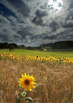 Beautiful sunflowers !