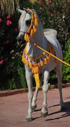 Ajmal Shaleel  (Shahin x Ansata Shalimar) 2002 Straight Egyptian Stallion © Khaled L Almutairi