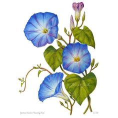Morning Glory Print Blue Flowers Botanical Floral Art by Janet Zeh ❤ liked on Polyvore featuring home, home decor, wall art, flower wall art, blue home decor, floral home decor, flower stem and blue home accessories