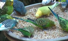 "Parakeet ""Chow Down"" Webcam 