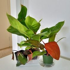 Meet my newest #houseplants!  I already have a Pink Princess Philodendron but I wanted another one!  #princeoforange #pinkprincessphilodendron #moonlightphilodendron #indoorplants