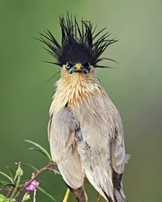 Brahminy starling By:, Unhealthy hair day! Brahminy starling By: Source. Pretty Birds, Love Birds, Beautiful Birds, Animals Beautiful, Cute Animals, Exotic Birds, Colorful Birds, Rapace Diurne, Crazy Bird