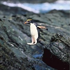Do you know how the rockhopper penguin got its name? Well, unlike most species of penguin, the rockhopper does not slide on its belly, as it lives in places with rocky terrain. So, in order to avoid obstacles, these penguins hop! #penguin #penguins #animals #wildlife #nature #wildlifephotography
