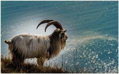 Goat Wallpaper | baby goat wallpaper, funny goat wallpaper, goat wallpaper, goat wallpaper border, goat wallpaper download, goat wallpaper free download, goat wallpaper iphone, goat wallpapers hd, mountain goat wallpaper, wallpaper goat simulator