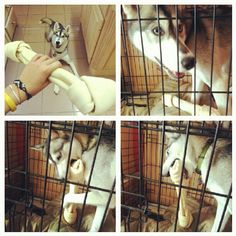 new, giant bone for Zelda's cage! #petsofinstagram #wolf #husky #dog - @remz- #webstagram