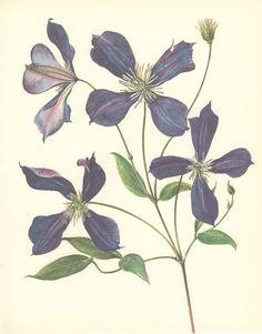 Vintage Flower Print Clematis Botanical by MarcadeVintagePrints
