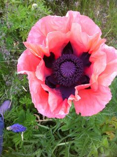 Papaver, Iceland Poppy~ Poppy is my favorite! Have lots of them in my garden :)