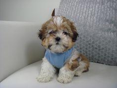 Cute Shih Tzu Puppies