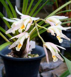 Cymbidium mastersii ~ Orchidee