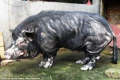 Is this the pig you want for your bday, @Malayna Comer :p