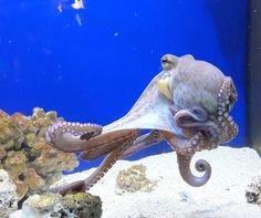 #visitcroatia  Sibenik Aquarium Terrarium Visit Croatia, Octopus, Terrarium, Travelling, Aquarium, Terrariums, Goldfish Bowl, Aquarium Fish Tank, Calamari