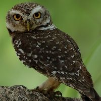 Spotted Owlet - Athene brama - Information, Pictures, Sounds
