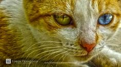 Odd Eyed Cat Two By Two, Creatures, Eyes, Nice, Pictures, Photography, Animals, Photos, Photograph