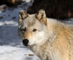 Requiem Of An Unlived Life With A Wild Wolf Spirit: Living With A Wolf Spirit Inside