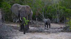 (7) Twitter National Geographic Wild, African Safari, Elephant, Live, Twitter, Animals, Animales, Animaux, Elephants